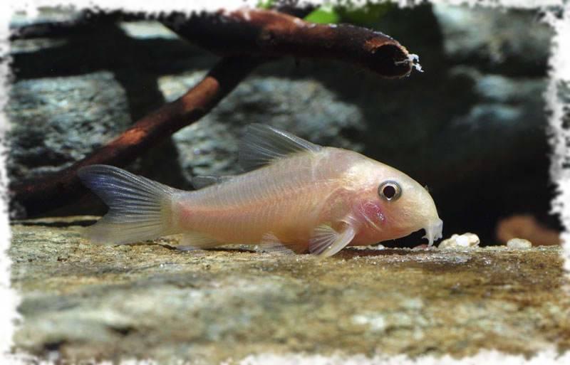 Советы,проблемы и решения связанные с поведением аквариумных рыбок в аквариуме (что делать, если рыба…)