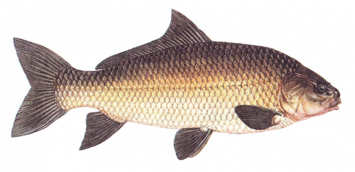 Рыба кутум: где водится и ловля