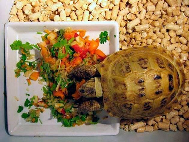 Черепаха: ее повадки, образ жизни, места обитания, видео, фото