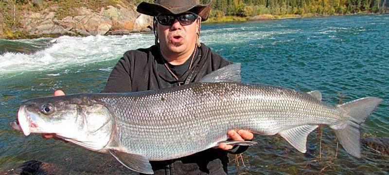 Рыбалка на белорыбицу в северных реках, особенности поведения