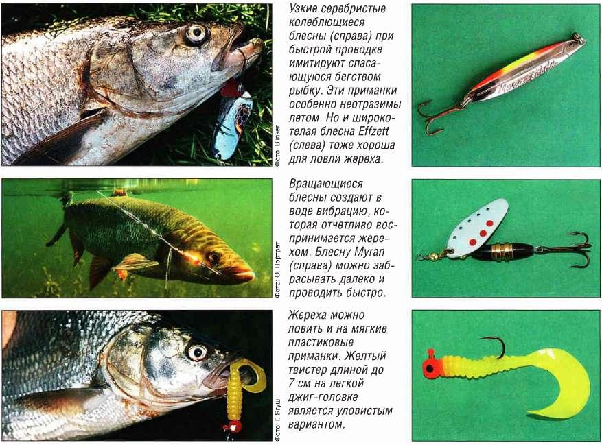 Рыба жерех?: фото и описание. как выглядит жерех?, чем питается и где водится