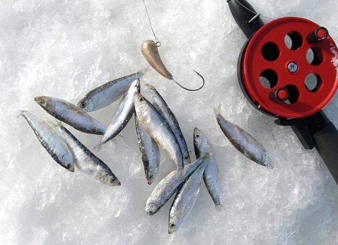 Судак на тюльку зимой - снасти и техника ловли, как насаживать?