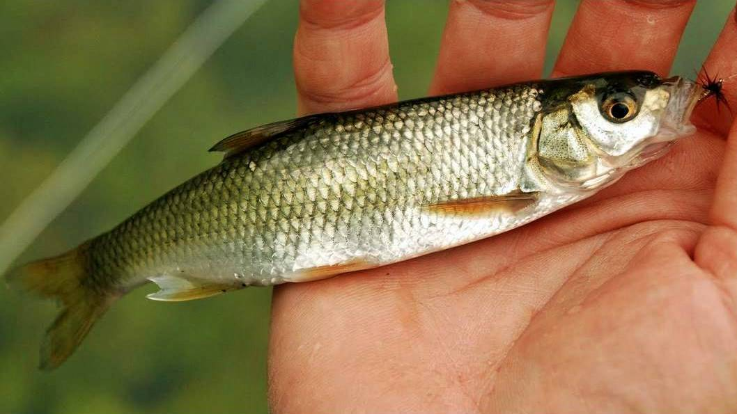 Шамая википедия рыба фото