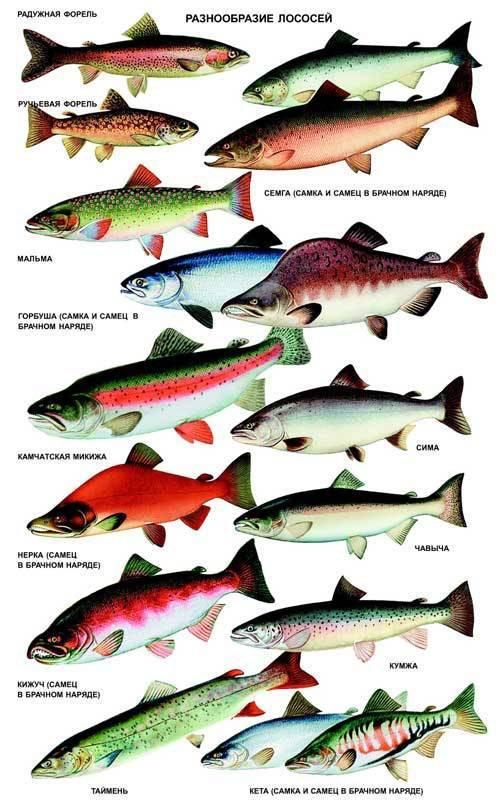 Когда начинается нерест лосося и сколько он длится? - моя рыбалка