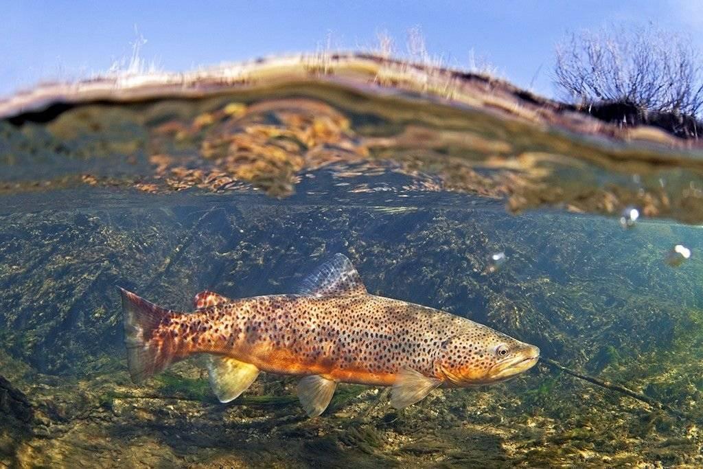 Налим рыба: (как выглядит, чем питается, где водится, сколько живет)