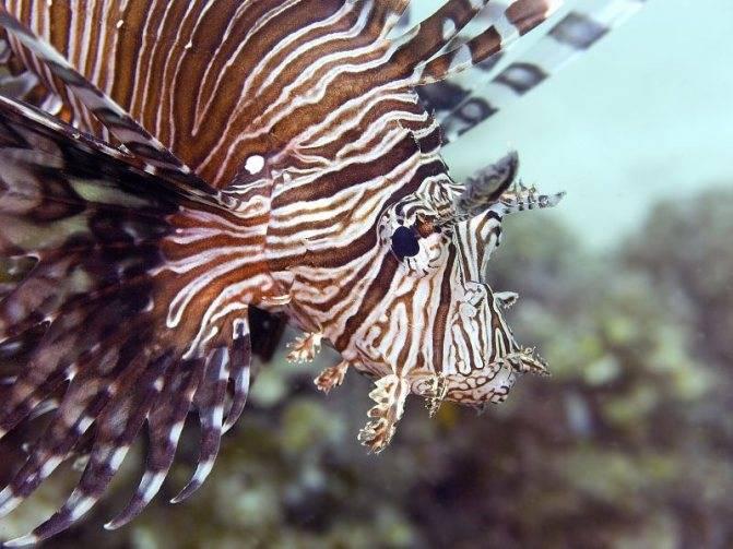 Крылатка или рыба-зебра. описание, образ жизни, интересные факты. фото и видео крылатки