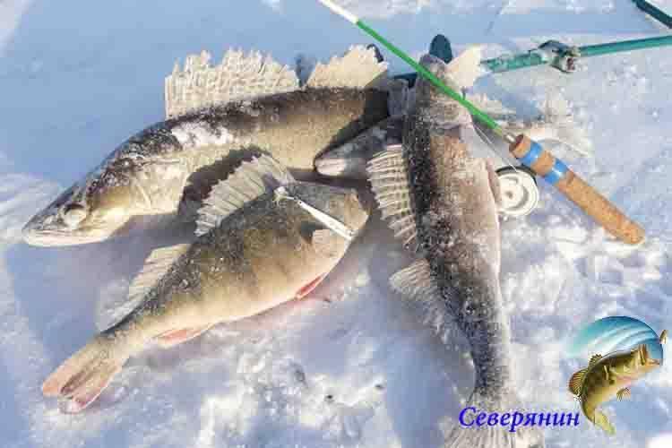 Ловля судака на балансир зимой