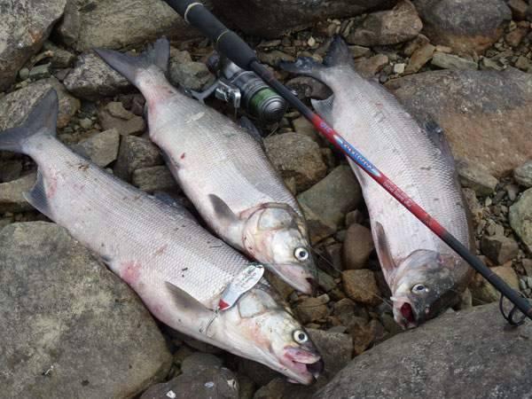 Как поймать нельму осенью - про рыбалку