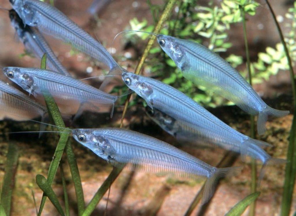 Гипанциструс: фото рыбки, содержание, разведение, совместимость, видео гипанциструс: фото рыбки, содержание, разведение, совместимость, видео