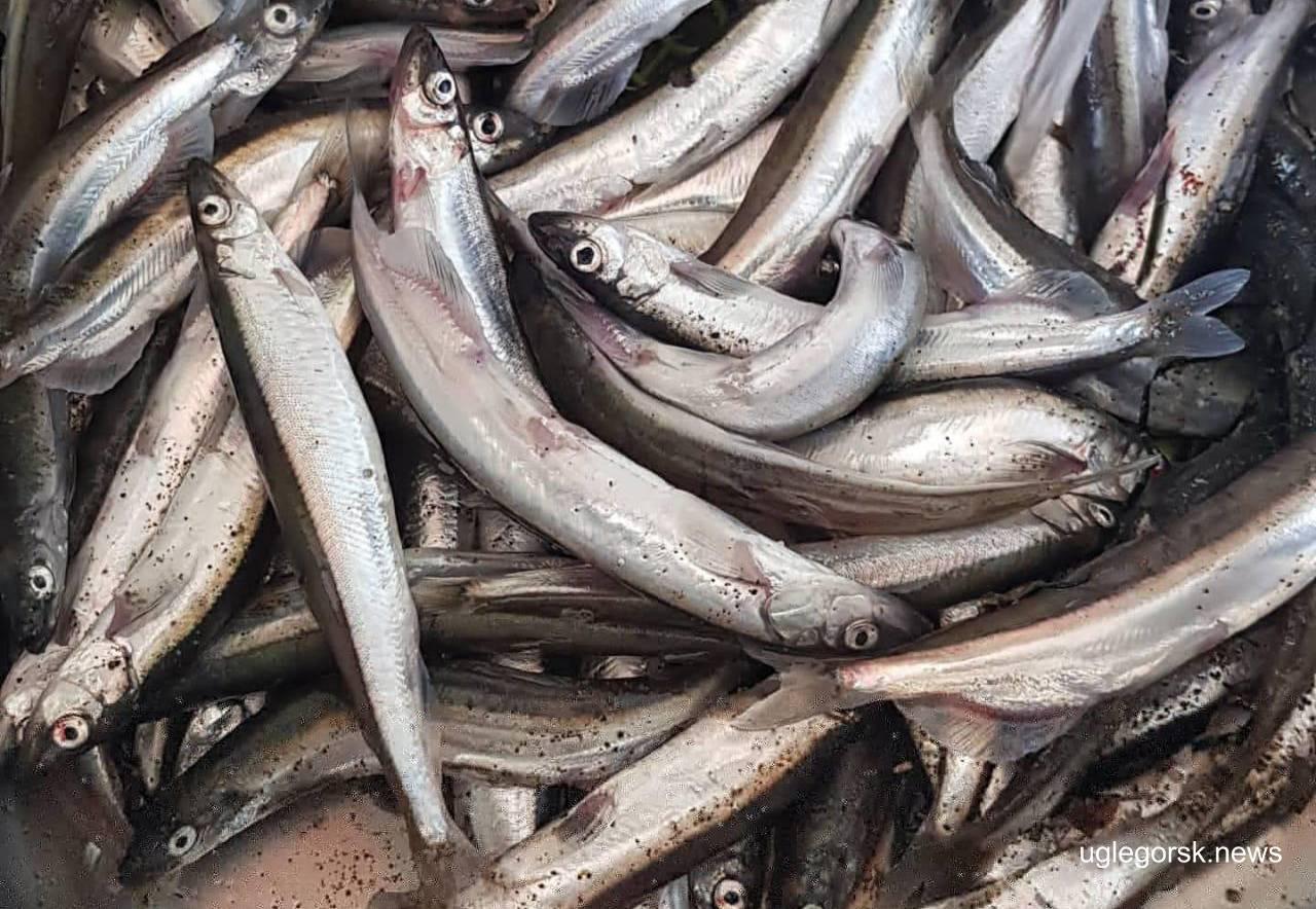 Рыба мойва или уёк (лат. mallotus villosus)