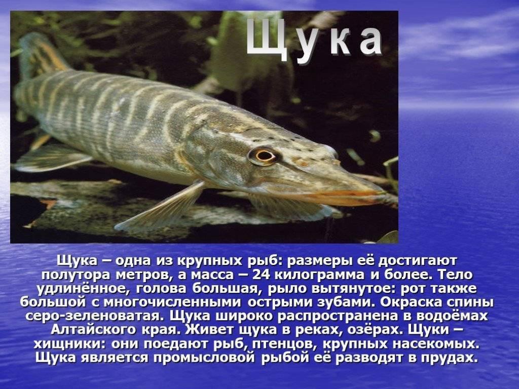 Чем полезна щука, свойства и фото рыбы