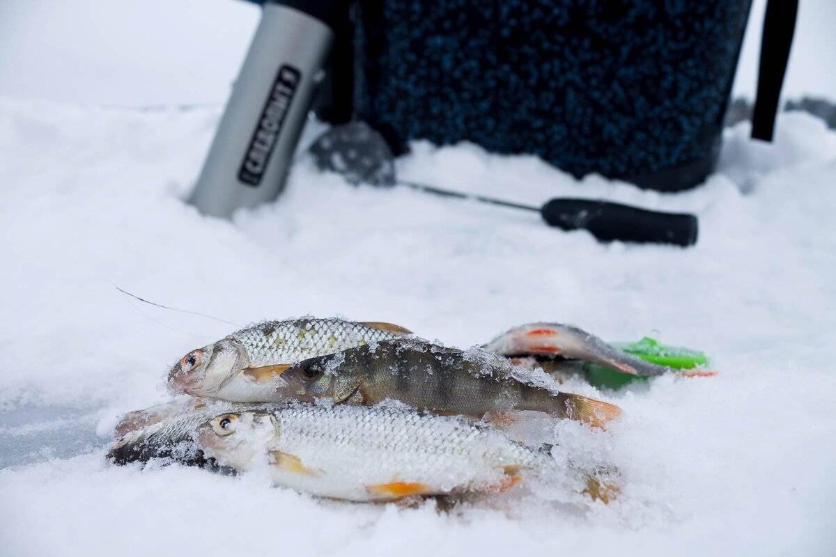 Секреты ловли голавля зимой на спиннинг, нахлыст и зимнюю удочку