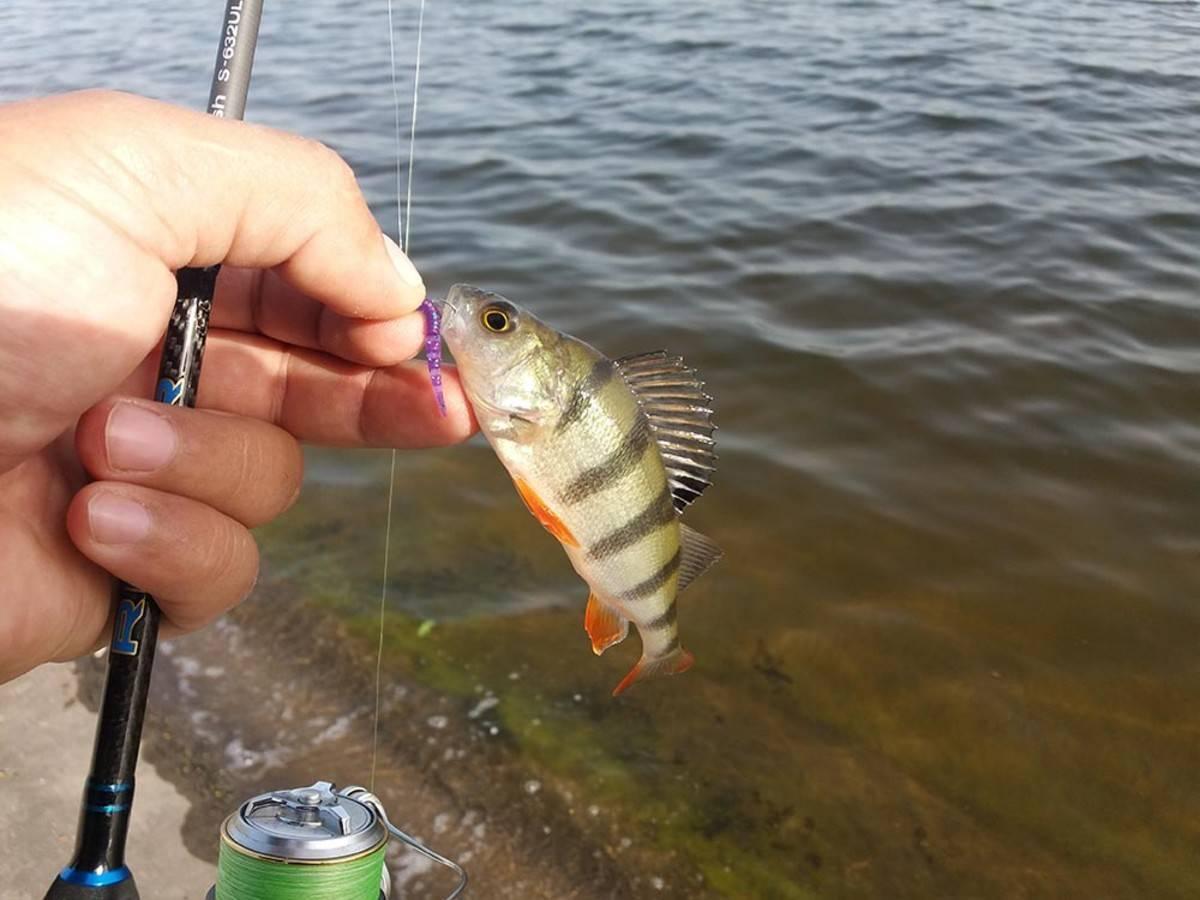 Ловля окуня: подробно о рыбалке на окуня, летом и зимой, все способы