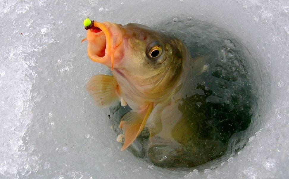 Ловля сазана зимой - любимый трофей рыболова