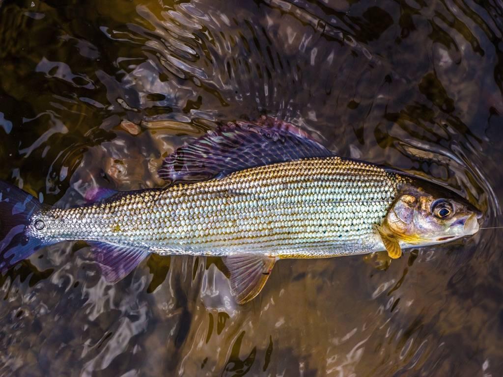 Красная рыба — виды и названия