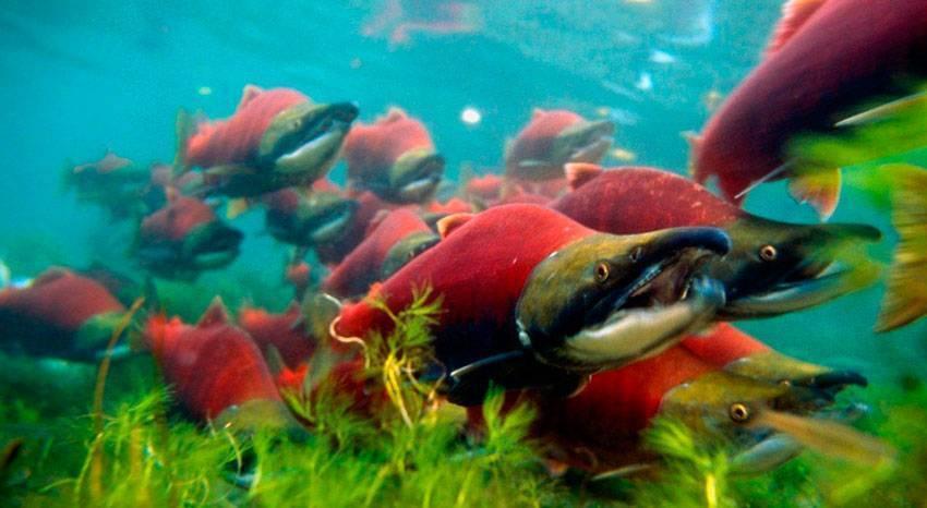 Причины массовой гибели рыбы летом. война дамб.