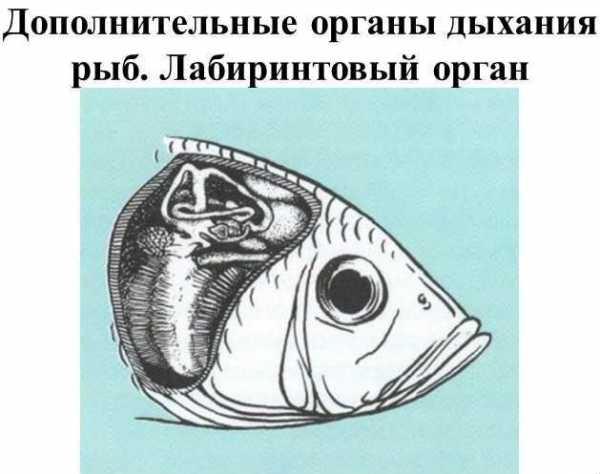 Обоняние у рыб: связь со вкусом и общей химической чувствительностью