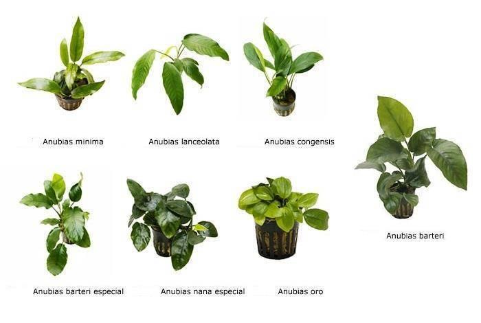 Лучшие растения для аквариума фото с названиями