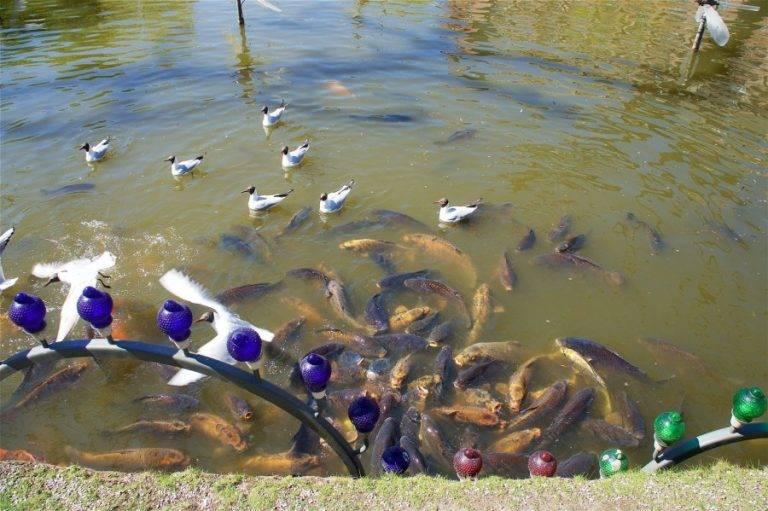 Можно ли завести рыбу в пруду на даче и что для этого нужно   дизайн участка (огород.ru)