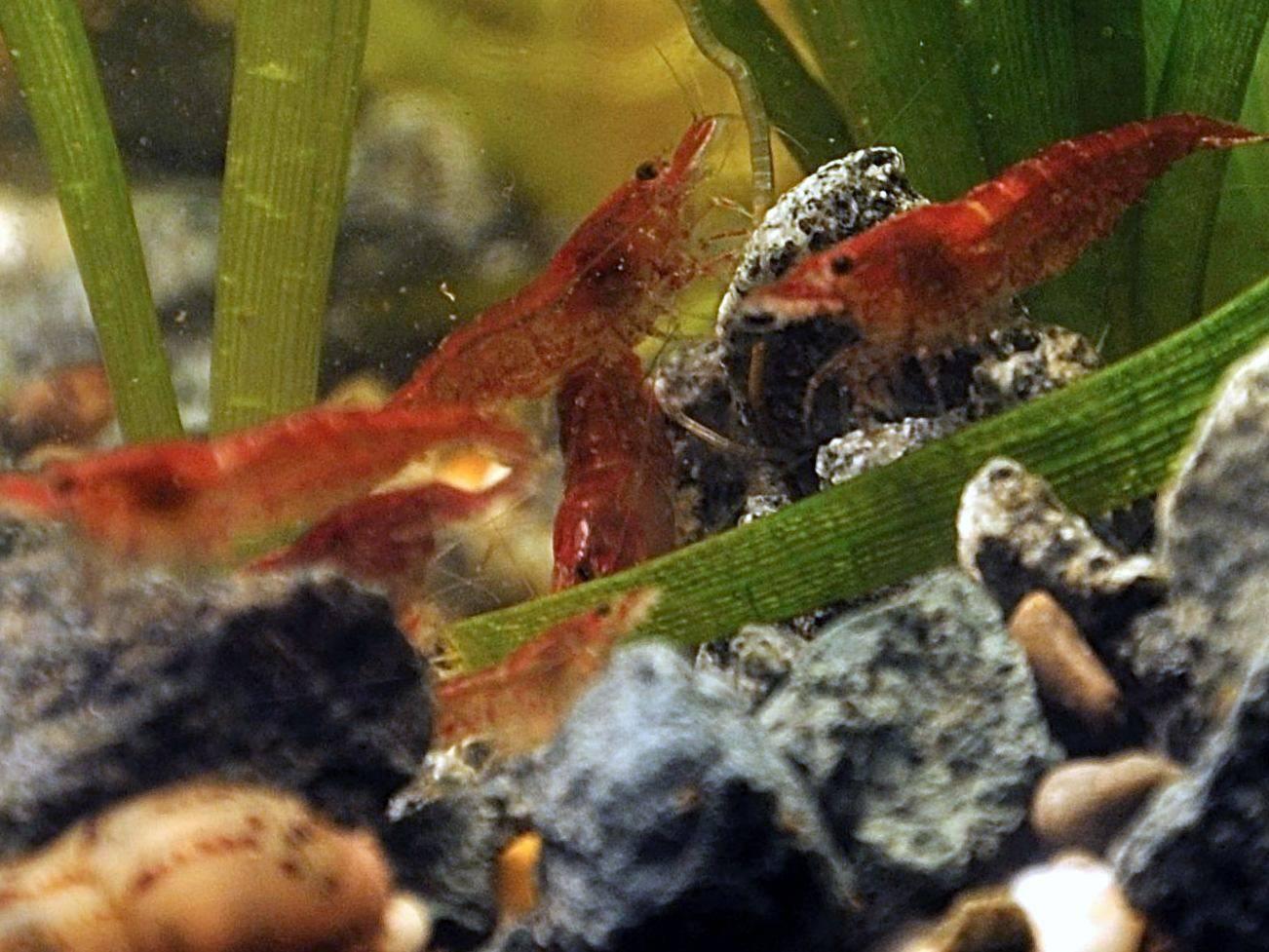 Креветки аквариумные: содержание, уход, размножение, чем кормить и совместимость- ribulki.ru