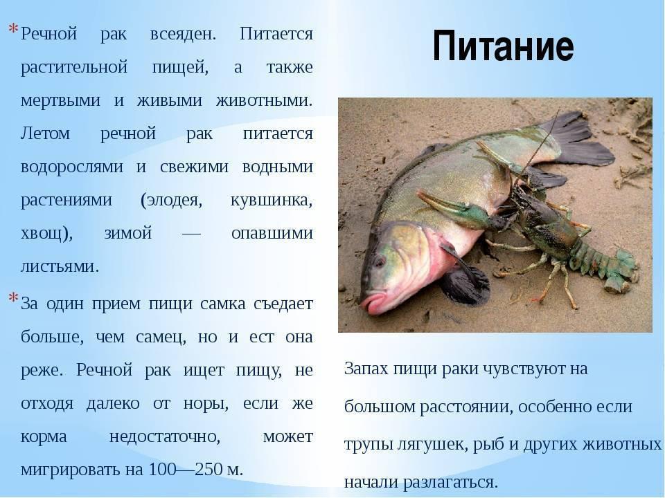 Кто питается раками в водоеме. где водятся раки? речные раки: описание, места обитания, питание
