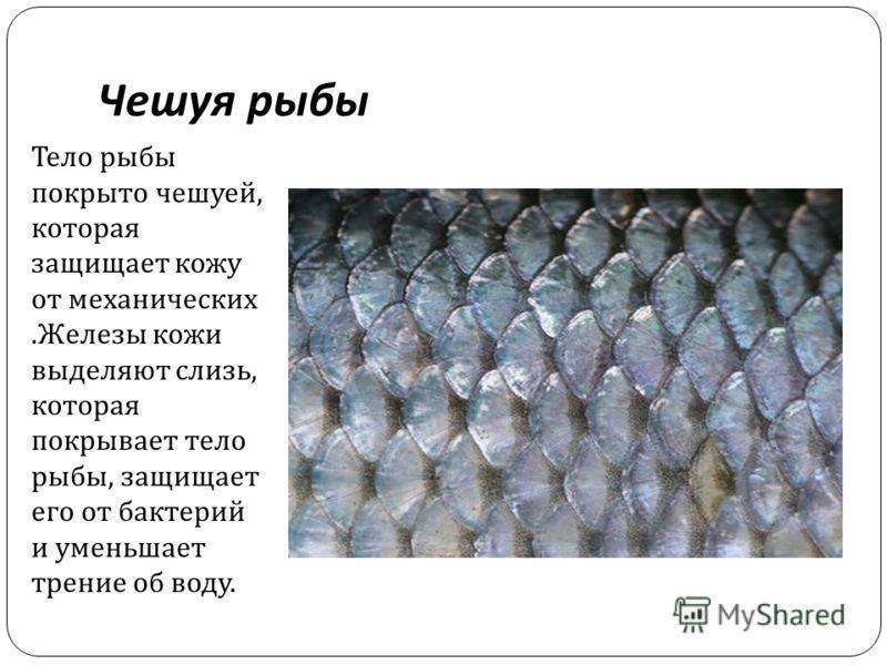 Чешуя рыб: виды и особенности. зачем рыбе чешуя? рыба без чешуи