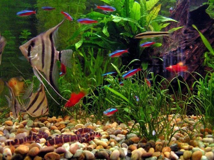 Вьюновые аквариумные рыбки и описание красавца