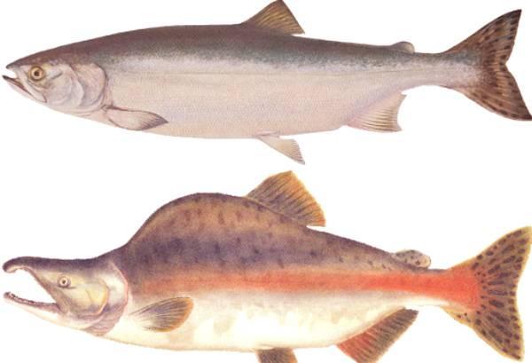 Какую рыбу лучше выбрать — кижуч или кету?