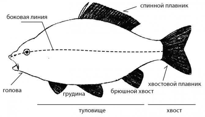 Какая рыба самая полезная для человека: лучшие морские и речные виды | lisa.ru