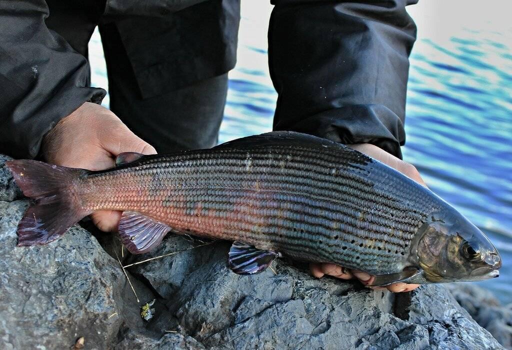 Скат рыба. образ жизни и среда обитания рыбы скат   животный мир