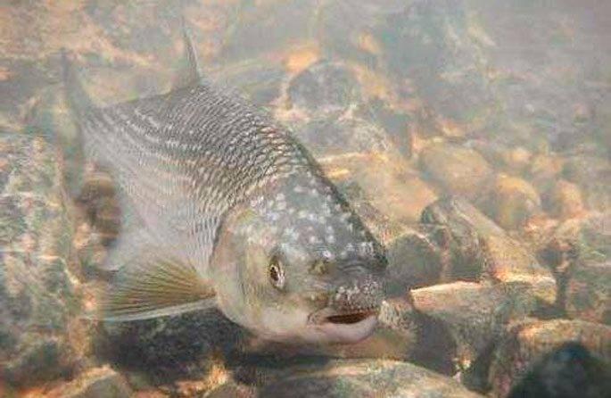 Вырезуб - рыба с осторожным нравом