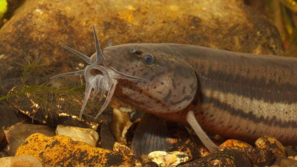Рыба семейства вьюнов: описание, методы ловли и выбор наживки, приготовление блюд и фото
