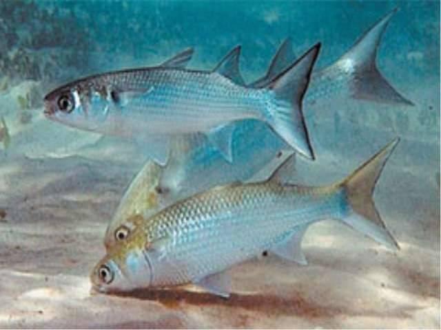 Где водится рыба лобань: места обитания и способы ловли