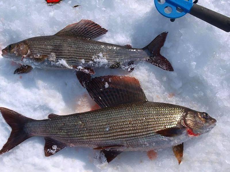 Белоярское водохранилище: карта рыбных мест, особенности рыбалки, какая рыба водится