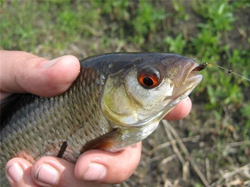Ловля плотвы на поплавочную удочку, как поймать крупную плотву.