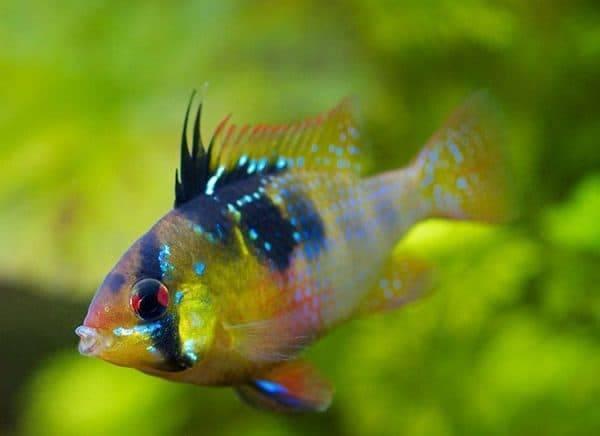 Апистограмма (20 фото): рыбка апистограмма агассица фаер ред и борелли, описание видов аквариумных рыб апистограмма рамирези голд и боливийская бабочка, апистограмма макмастера и рамирези баллон