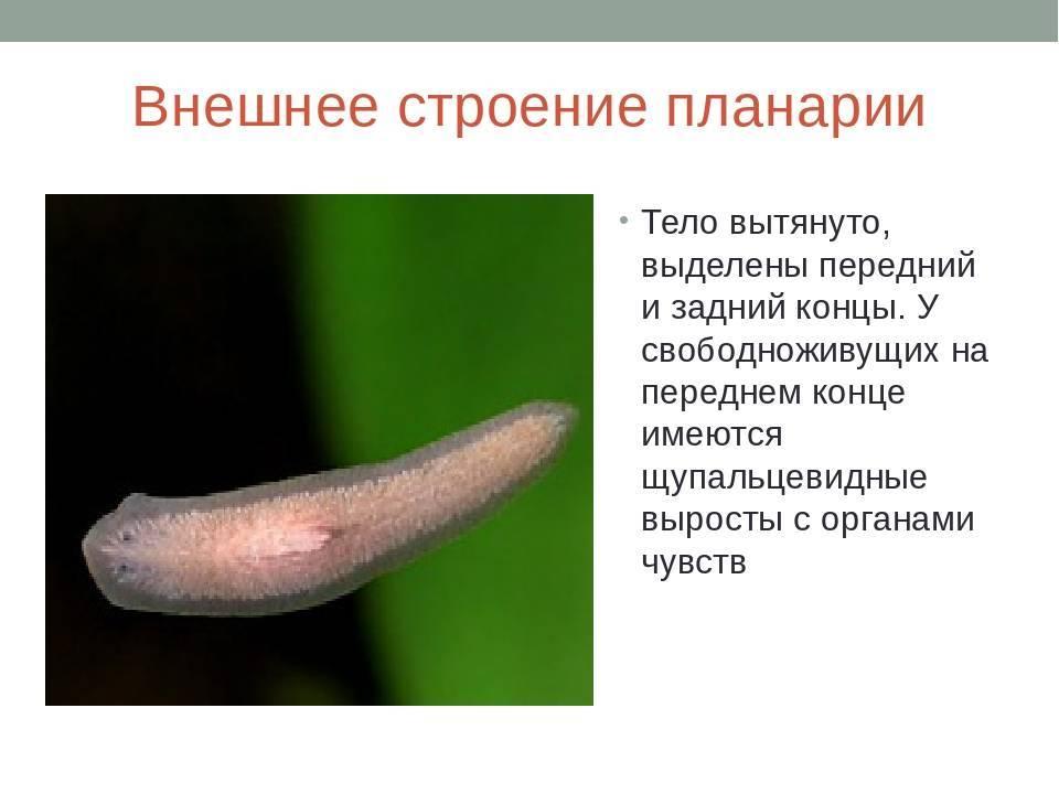 Белая планария: что за паразит, внешнее и внутреннее строение, жизненный цикл