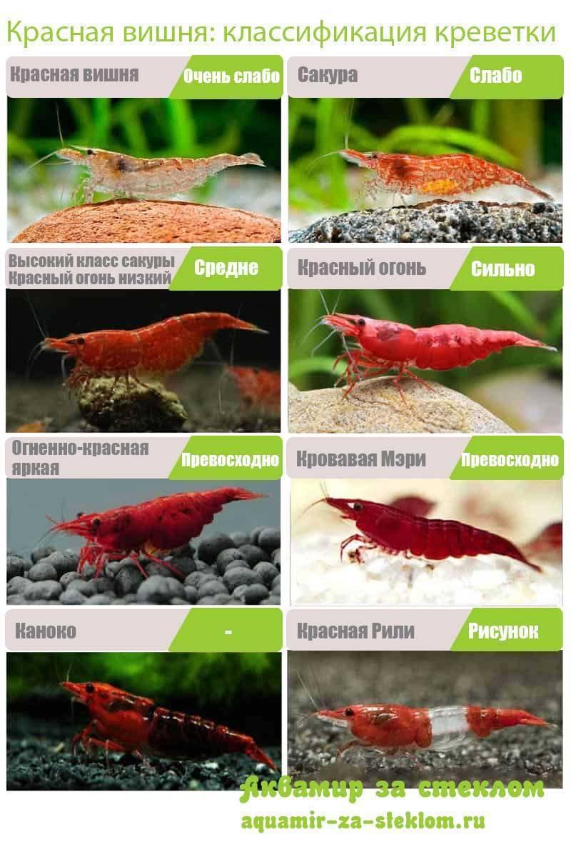 Чем и как кормить креветок в аквариуме?