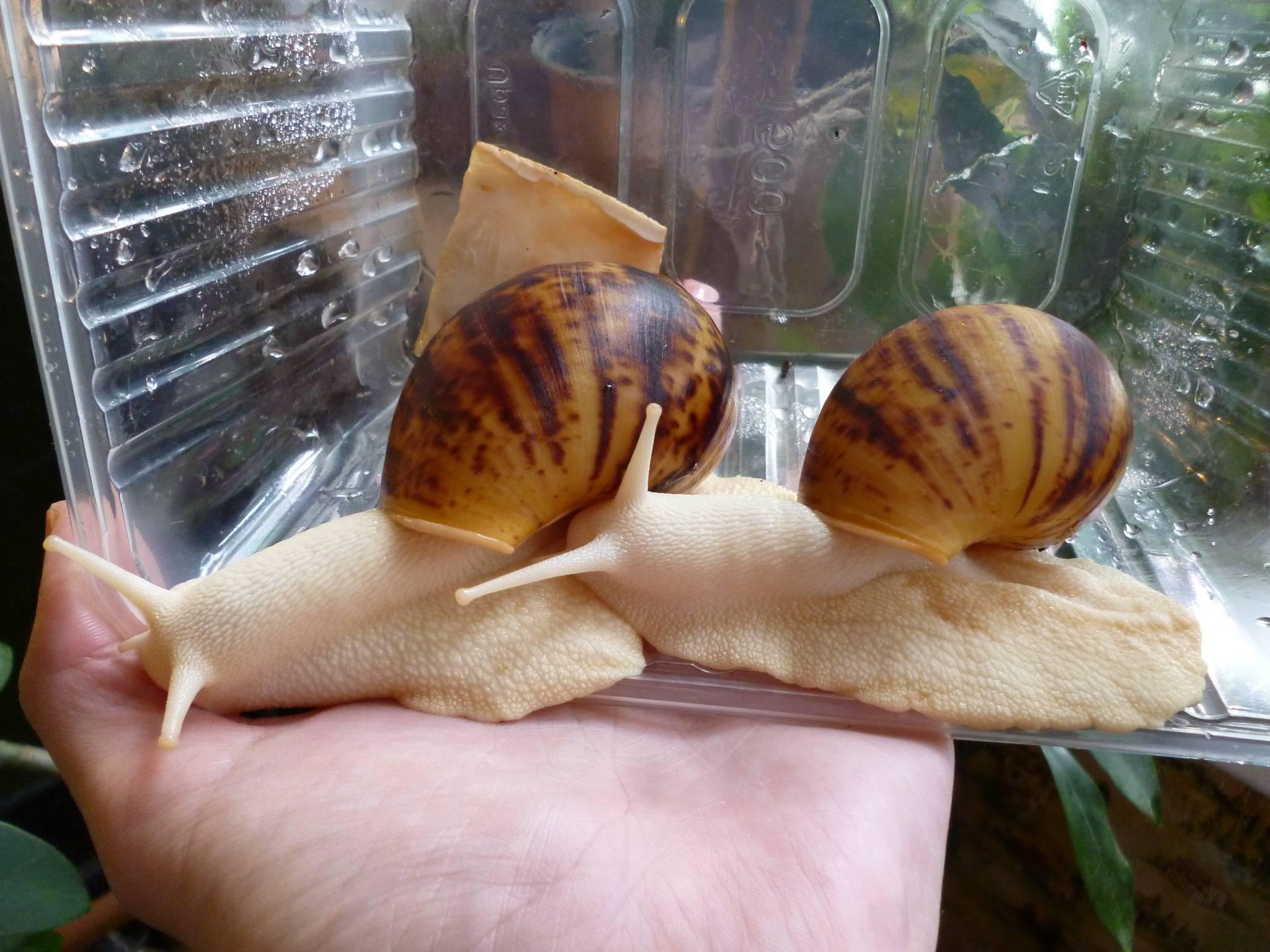 Домашние улитки ахатины — стоит ли их заводить | плюсы и минусы