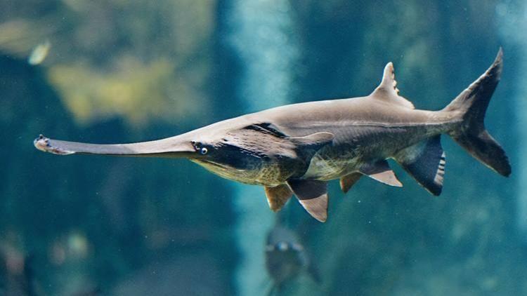 Рыба веслонос: описание и рецепты приготовления