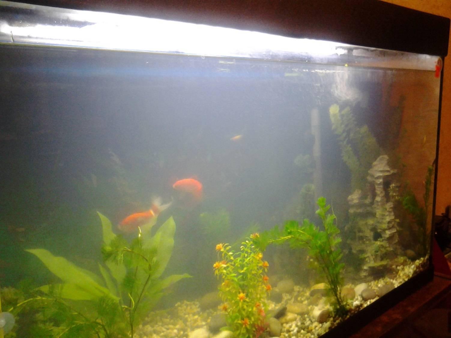 Почему в аквариуме желтеет, белеет, коричневеет и темнеет вода, как с этим бороться, а также, что делать, если на поверхности пузырьки