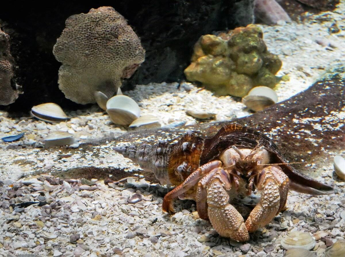 Рак отшельник - содержание в аквариуме и фото