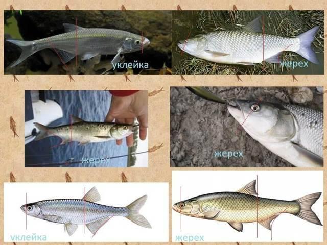 Кровожадный луфарь: эффективные способы ловли