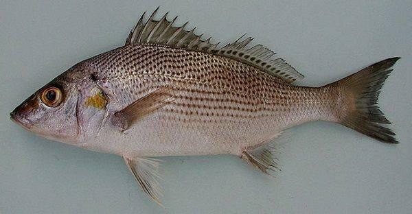 Простипома рыба фото - про рыбалку