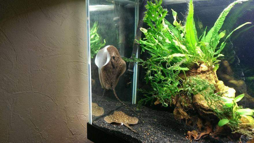 Черноморский скат-хвостокол (морской кот)
