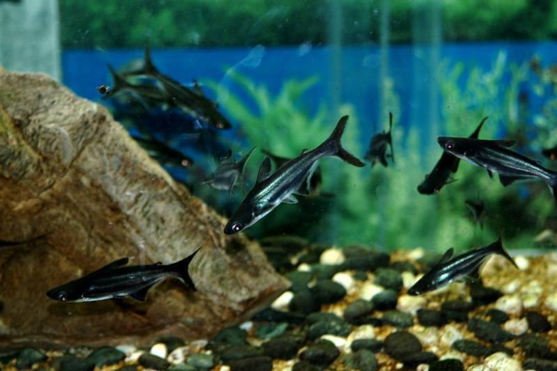 Домашние животные: акулий сом или сиамский пангасиус - patee.ru