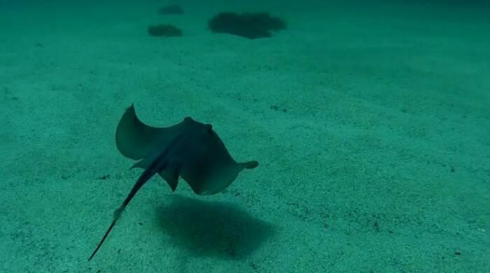 Скат в аквариуме: описание,разведение,содержание,фото,видео | аквариумные рыбки