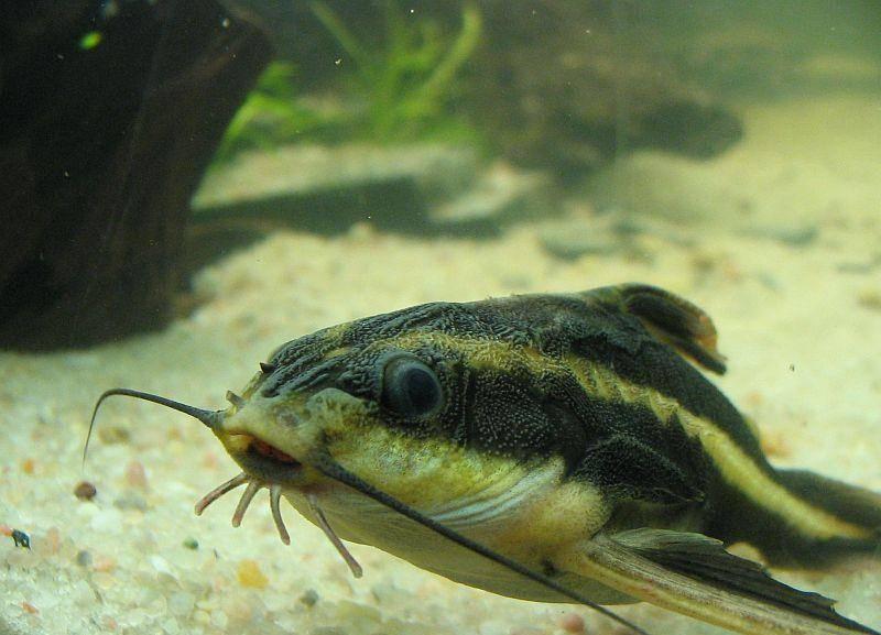 Содержание сомов платидорас в аквариуме