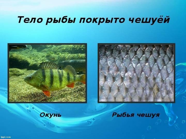 Голец – рыба без чешуи