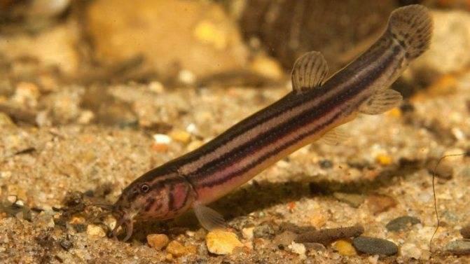 Вьюн (рыба) описание, чем питается, где водится (фото)